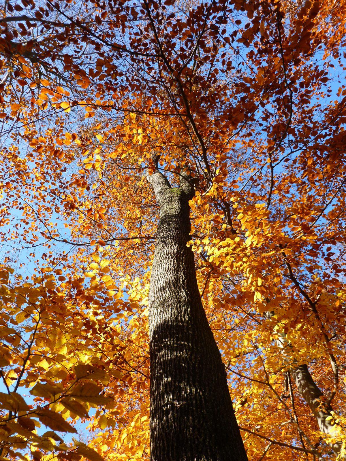 Foto: Buche im Herbst von unten nach oben